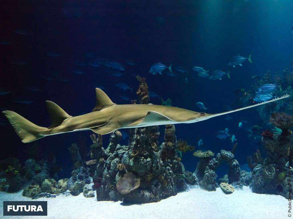 Requin scie - Pristiophorus cirratus que l'on trouve principalement en Afrique du sud, Australie et Japon