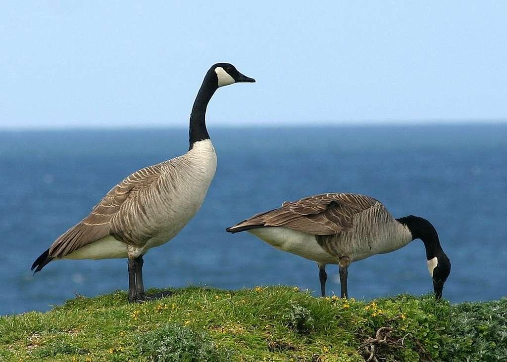 Couple de bernaches du Canada à Bodega Bay, en Californie. © davidhofmann08, Flickr, cc by nc nd 2.0