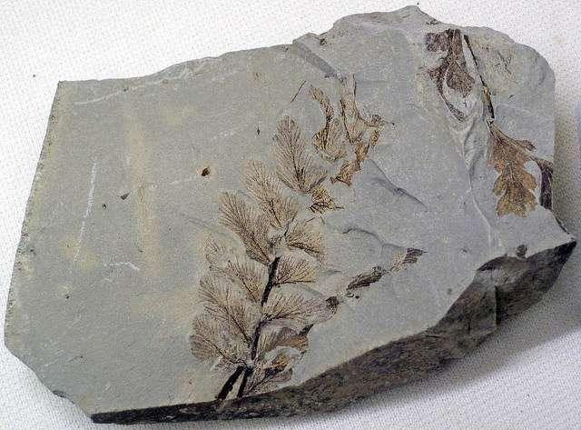 La fossilisation concerne également les végétaux, les coquillages et les parties d'animaux (dents, plumes, etc.). © James St. John, Flickr