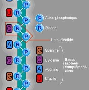 Structure moléculaire de l'acide ribonucléique. L'ARN est très proche chimiquement de l'ADN. La différence se situe au niveau des bases azotées complémentaires. L'ARN possède de l'uracile à la place de la thymine. © Guillaume Bokiau, Wikimedia common, CC by-sa 3.0