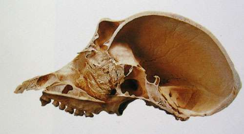 Crâne de chimpanzé (coupe). © DR