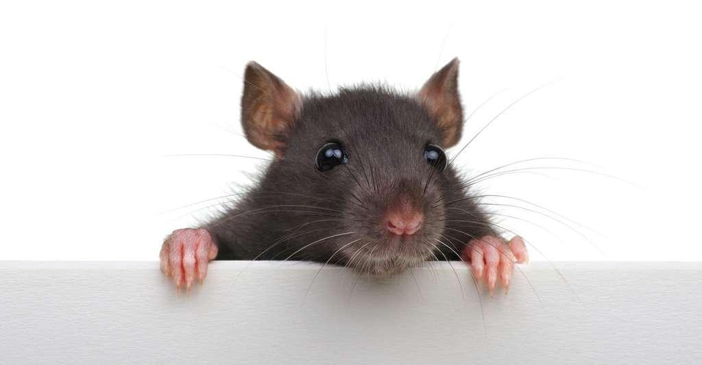 Le rat est un mal aimé. Et pour cause. Il est responsable de bien des dégâts et de quelques maladies. © Alekss, Adobe Stock