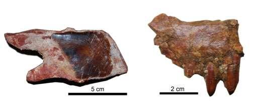 Fragments de poissons géants. À gauche, écaille de Lepidotes ; à droite, fragment de maxillaire de Stromerichthys. © L. Cavin