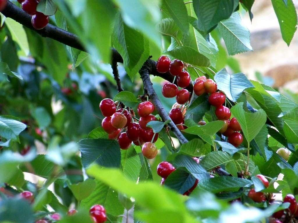 Pour ceux qui veulent obtenir des fruits plus rapidement, l'installation d'arbres fruitiers déjà bien poussés est une solution. © Cassiopée2010, Flickr, CC by-nc-sa 2.0
