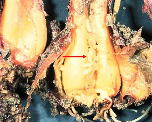 Mouche de l'oignon, Delia antiqua, larve à l'intérieur © INRA Reproduction et utilisation interdites