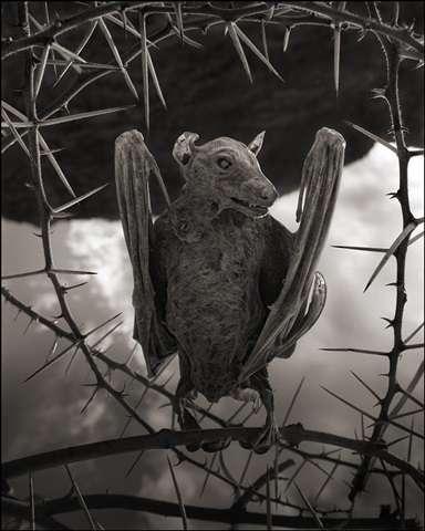 Chauve-souris momifiée du lac Natron. © Nick Brandt