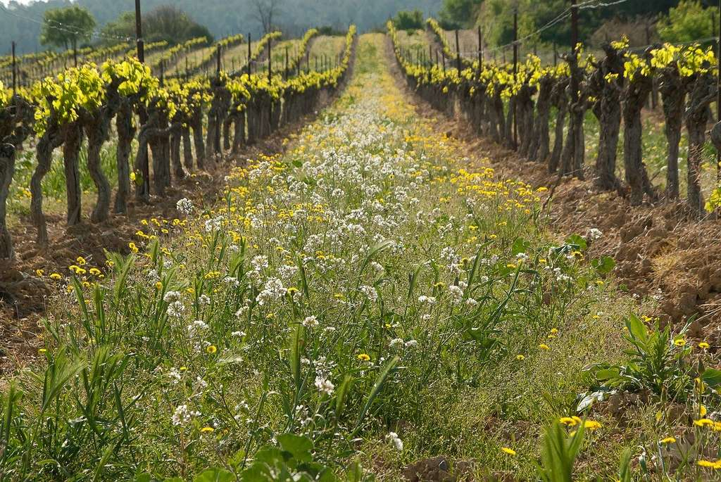 Enherber les vergers et les vignobles maximise la photosynthèse sans nuire à la production, une pratique qui se répand de plus en plus. © Jackmac34, Pixabay, DP