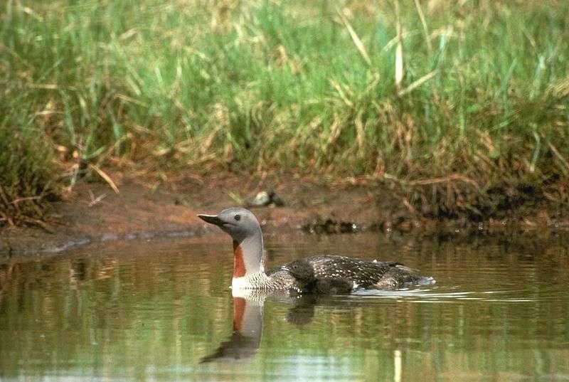 Plongeon catmarin sur un plan d'eau. © USF&WS, domaine public