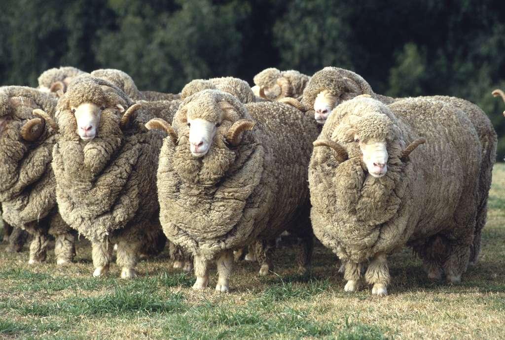 Un mouton mérinos produit chaque année l'équivalent de 9.000 km de fibre. © 169169, Fotolia
