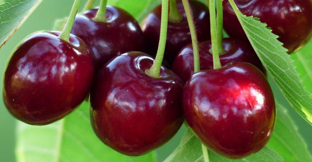 Cerises Bing Cherry. © Hans, Pixabay, DP
