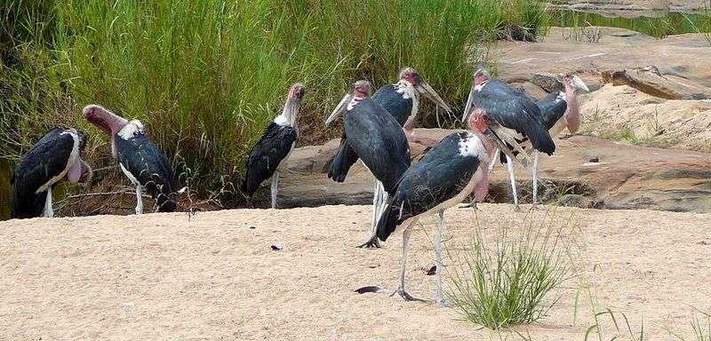 Marabouts au bord d'une rivière. © Gossipguy, GNU FDL Version 1.2