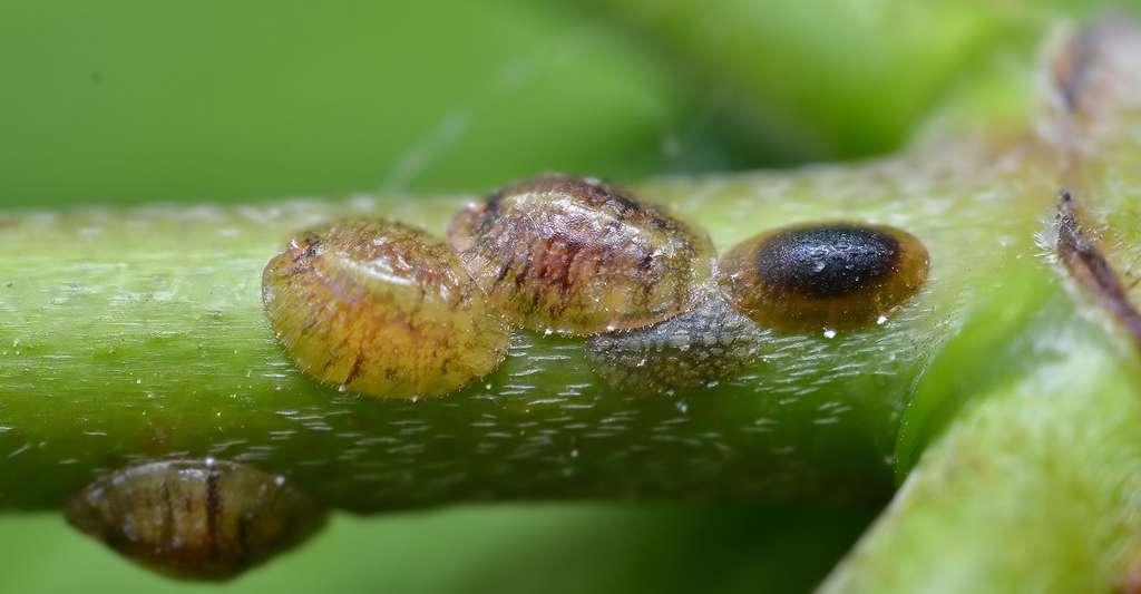 Coccoidea. © Gilles San Martin, CC by-sa 2.0