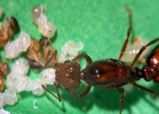 La fondation indépendante chez la fourmi de feu Solenopsis invicta. La reine soigne elle-même le premier couvain. On voit des œufs, des larves et des nymphes dont certaines (les plus brunes) vont donner naissance aux premières ouvrières de la nouvelle société. © A. Thrun