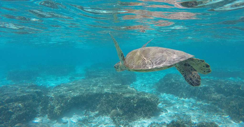 Tortue verte. © Cbrookes81, Wikimedia commons, CC by-sa 4.0