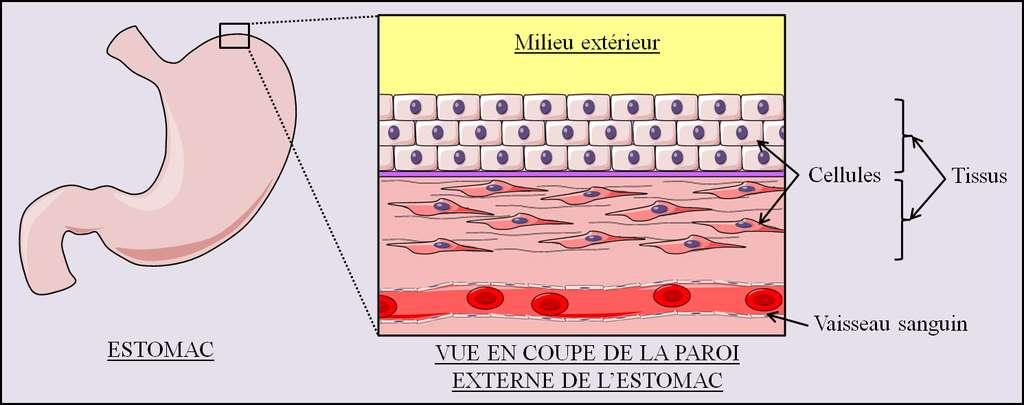 Figure 1. Schéma de l'organisation microscopique de la paroi externe de l'estomac. Nos organes sont organisés en tissus qui sont eux-mêmes constitués de cellules spécialisées. © Grégory Ségala
