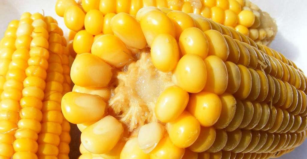 Epis de maïs. © Byrev CCO