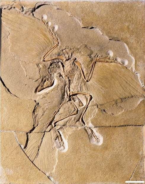 Fossile d'archéoptéryx mis au jour en 1876. Le premier fossile d'archéoptéryx a été découvert en 1861 près de Langenaltheim en Allemagne et date d'environ 150 millions d'années. Barre d'échelle : 5 cm. © Museum für Naturkunde Berlin