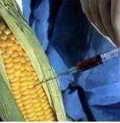 Le maïs transgénique