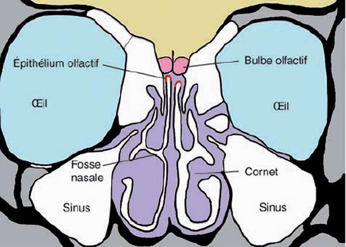 Coupe de la cavité nasale humaine. © Quae - Tous droits réservés
