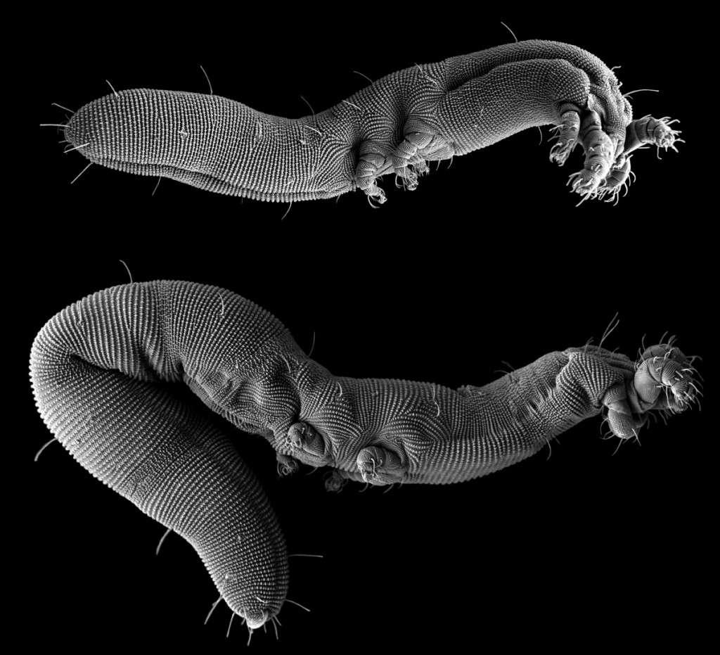 Seul un microscope électronique à balayage permet d'obtenir les détails morphologiques de cette nouvelle espèce d'acariens, Osperalycus tenerphagus, longue d'environ 700 micromètres (0,7 mm). © US Department of Agriculture, Agricultural Research Service, Electron and Confocal Microscopy Unit (Beltsville, Maryland, États-Unis)