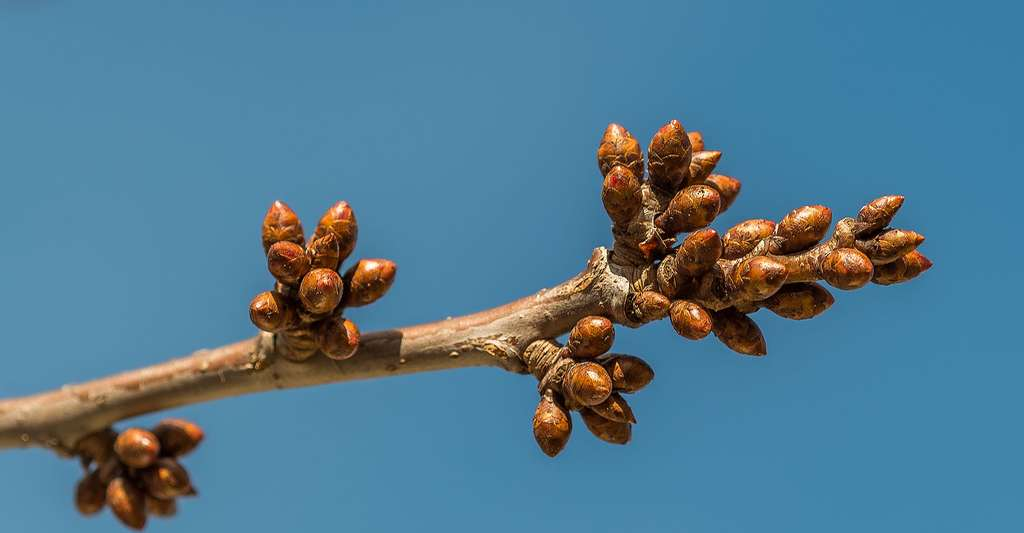 Bourgeons. © Bengt Nyman, Wikimedia commons, CC by 2.0