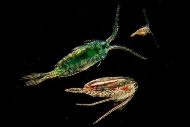 Des copépodes, petits crustacés planctoniques habituellement très abondants dans toutes les mers du globe, récoltés et photographiés à bord de Tara. Ils étaient particulièrement nombreux dans les prélèvements effectués dans les régions arctiques, où la biodiversité s'est révélée faible. © Christian Sardet, Tara Expéditions