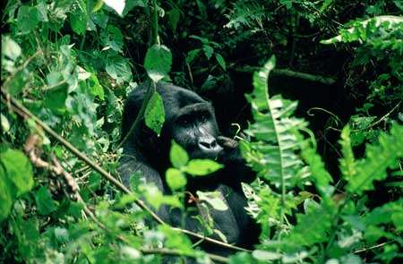 Kahuzi-Biega National Park Nat.parks, gorillas Mugaruka, a silverback eastern lowland gorilla in the Kahuzi-Biega national Park, eastern D.R.C. © UNESCO/Ian Redmond/Born Free