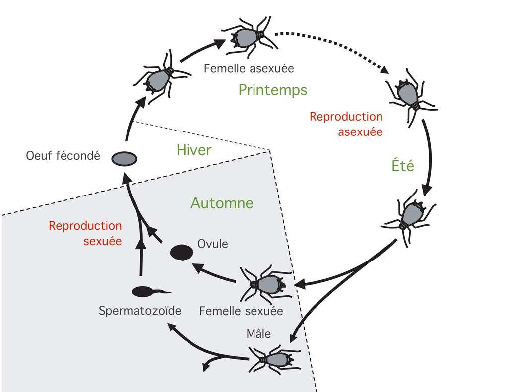 Le cycle de vie des aphides © Céline Deluzarche d'après Julie Jaquiéry et al, PLOS Genetics, 2015