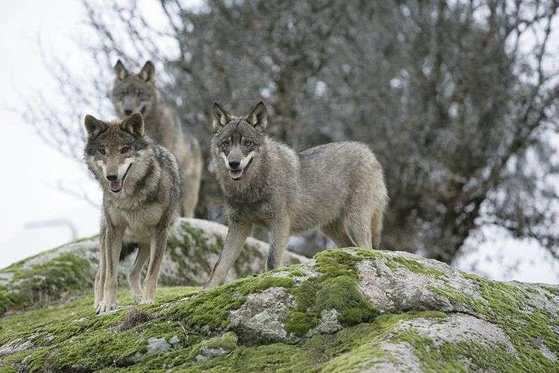 Loups Ibériques. © Juan José Gonzalez Vega, GNU FDL Version 1.2