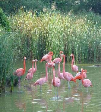 Flamants, Parc des Oiseaux