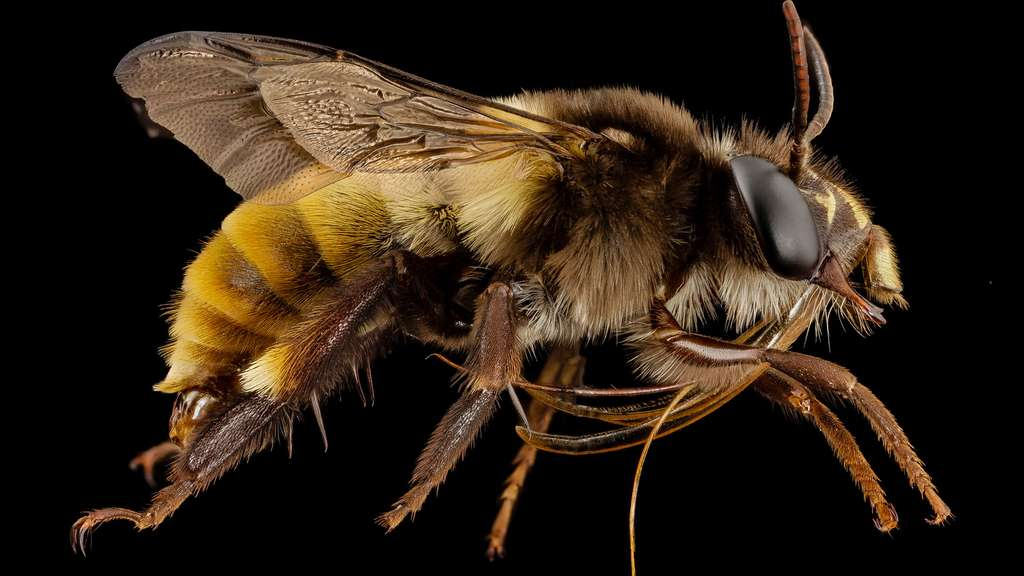 Une abeille indienne du genre Amegilla