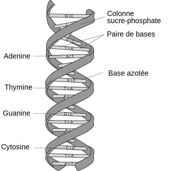 L'ADN est constitué de quatre nucléotides différents, notés A (adénine), T (thymine), C (cytosine) et G (guanine), du nom des bases azotées correspondantes. Ces nucléotides se regroupent par paires spéciales : A avec T ; T avec A, C avec G et G avec C. © Dosto, Wikimedia Commons, cc by sa 2.5