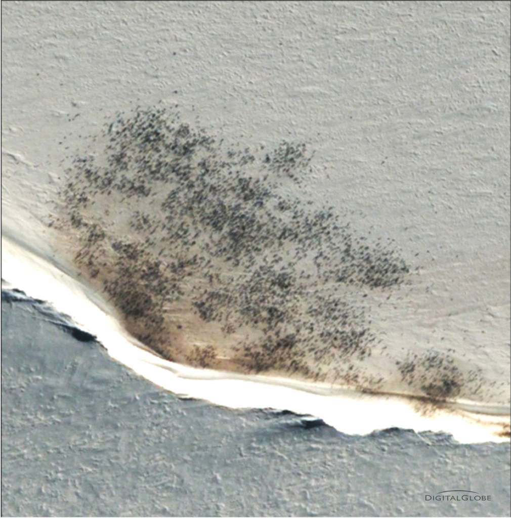 Un colonie de manchots empereurs photographiée par le satellite QuickBird à proximité de la baie d'Halley. Pour distinguer les oiseaux, les images subissent un traitement informatique, se basant entre autre sur des différences de couleurs. © DigitalGlobe