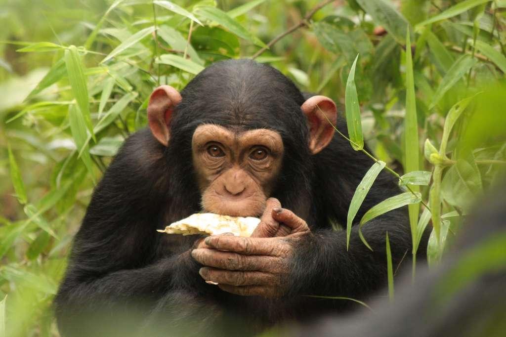 En Guinée, chimpanzés et humains ont cohabité sereinement pendant plusieurs siècles. © Biotope