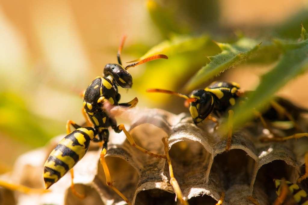 Le plus simple, c'est de repérer le nid de guêpes à peine formé. Il est alors assez facile de s'en débarrasser, car il n'abrite encore que très peu d'individus. © Britlish, Pixabay License