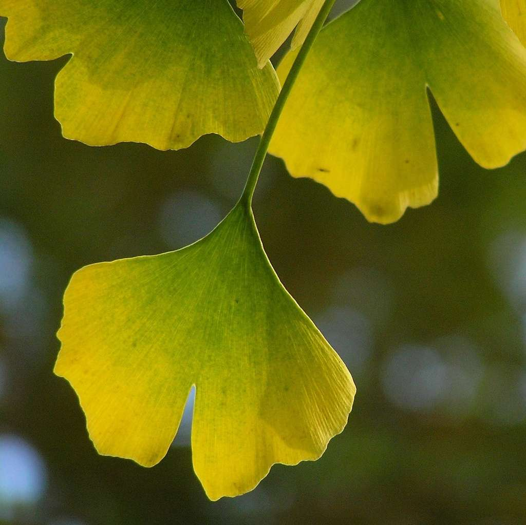 Feuille de ginkgo. © Roger B., Flickr CC by nc-sa 3.0