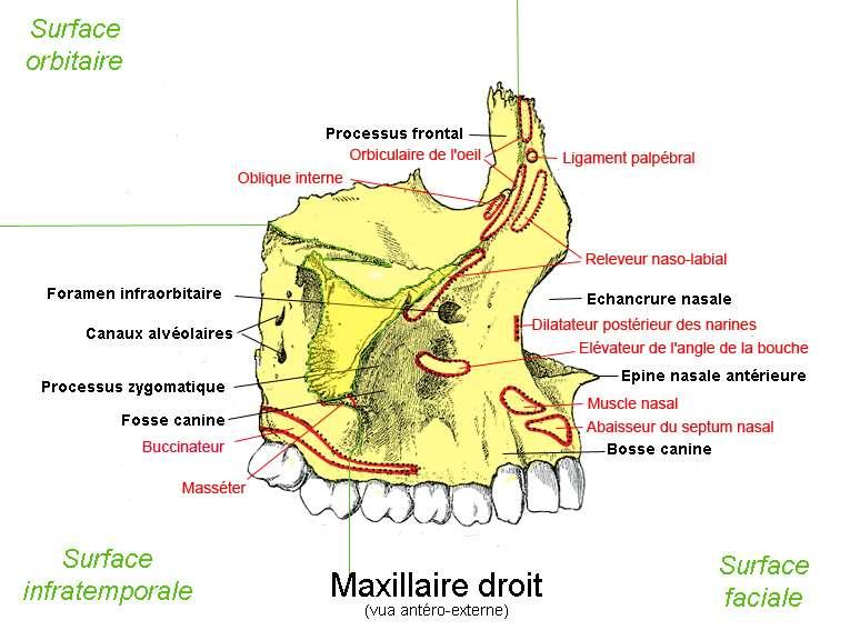 L'Homme possède deux os maxillaires. Ici, un schéma du maxillaire droit. © Berichard, Wikipedia, CC by-sa 3.0