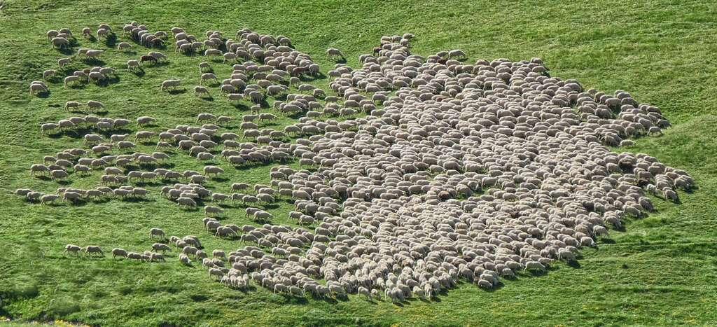 La Nouvelle-Zélande compte six fois plus de moutons que d'habitants. © Marco Bianchetti, Unsplash