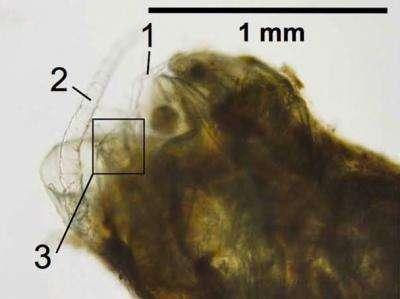 Des restes de copépodes ont été trouvés dans les pelotes fécales d'anchois : en 1, un appendice servant à la nage ; en 2, une antenne ; en 3, une furca (segment en forme de fourche) caudale. Les déjections de ces crustacés participent également à l'emprisonnement du carbone dans les sédiments marins, selon le même principe que celui des poissons. © Grace Saba, Rutgers IMCS