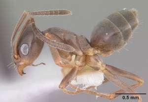 La fourmi odorante (Tapinoma sessile), l'une des fourmis indigènes les plus communes dans les maisons américaines. © April Nobil / AntWeb / Eol CC by-nc-sa 1.0