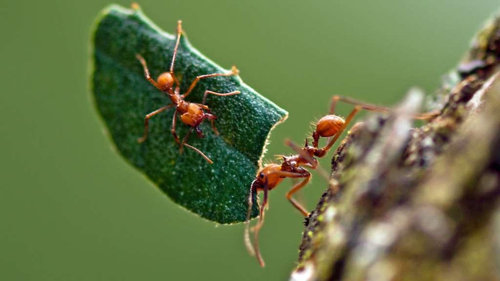 Des fourmis adeptes de l'agriculture