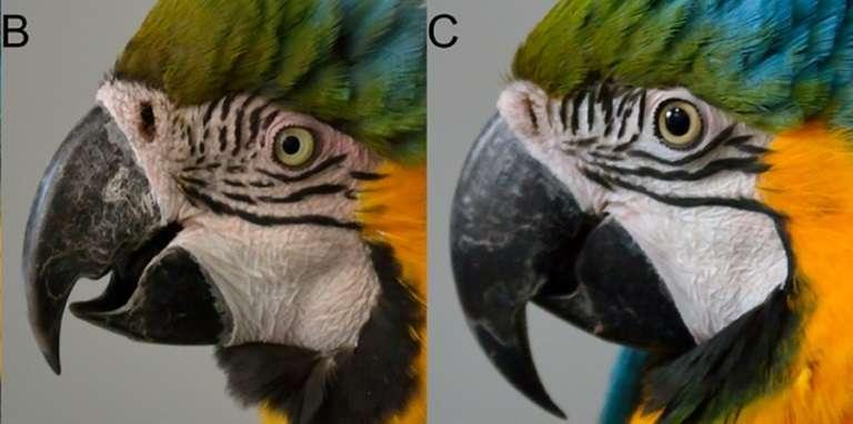 À gauche, l'ara rougit, ce qui n'est pas le cas à droite, dans cette expérience menée au zoo de Beauval en France. © A. BERAUD – AFP