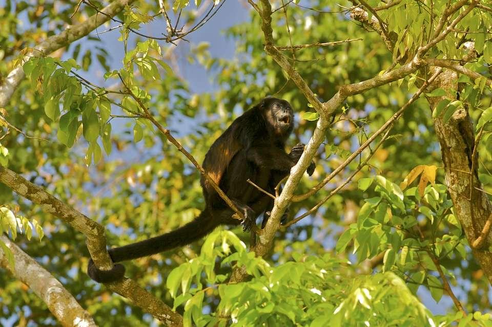 Le singe hurleur se nourrit de feuilles issues des plantations de bananes, ananas et palmiers à huile arrosées de pesticides. © Arturo de Frias Marques
