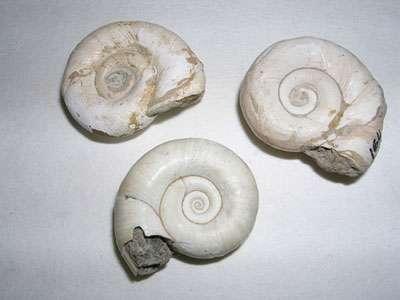 Fossiles de gastéropodes. © Coretus Miocène. DR