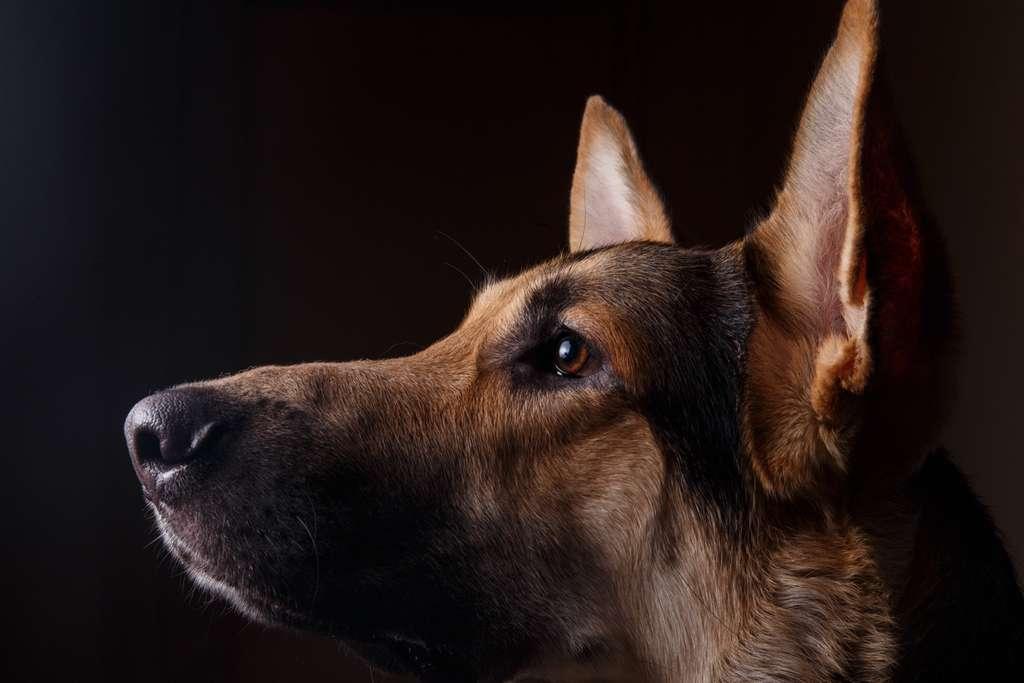Des chercheurs britanniques vont tenter de dresser des chiens pour détecter le nouveau coronavirus. © Alexandr, Adobe Stock