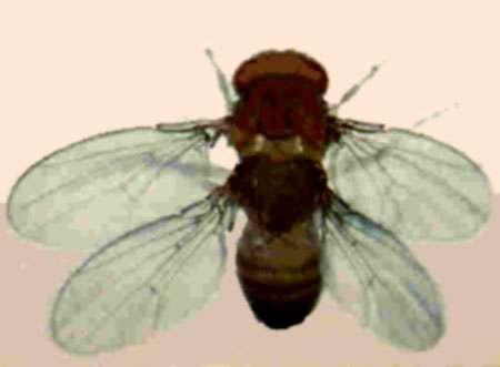 Drosophile, Mutation bithorax et postbithorax Reproduction et utilisation interdites