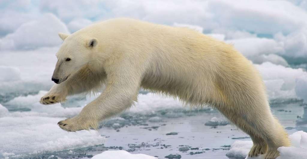 Un ours blanc (Ursus maritimus) bondissant entre deux blocs de glace de la banquise fondante, sur l'île de Spitzberg, dans l'archipel norvégien de Svalbard. © Arturo de Frias Marques, Wikimedia commons, CC by-sa 4.0