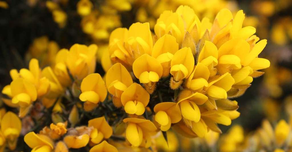 Fleurs d'Ulex europaeus. © PaleCloudedWhite, Wikimedia Commons, CC by-sa 4.0