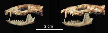Les crânes des femelles (à gauche) et ceux des mâles (à droite) possèdent de grandes différences, dont la taille et la longueur des canines. © Lemzaouda/MNHN