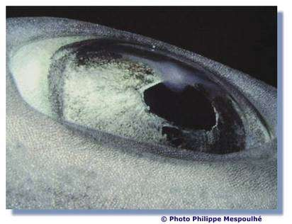Zoom sur l'œil de requin. © P. Mespoulhé